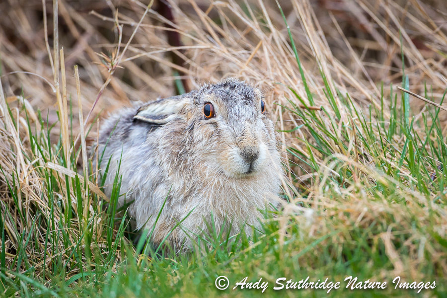 White Hare Lying Low