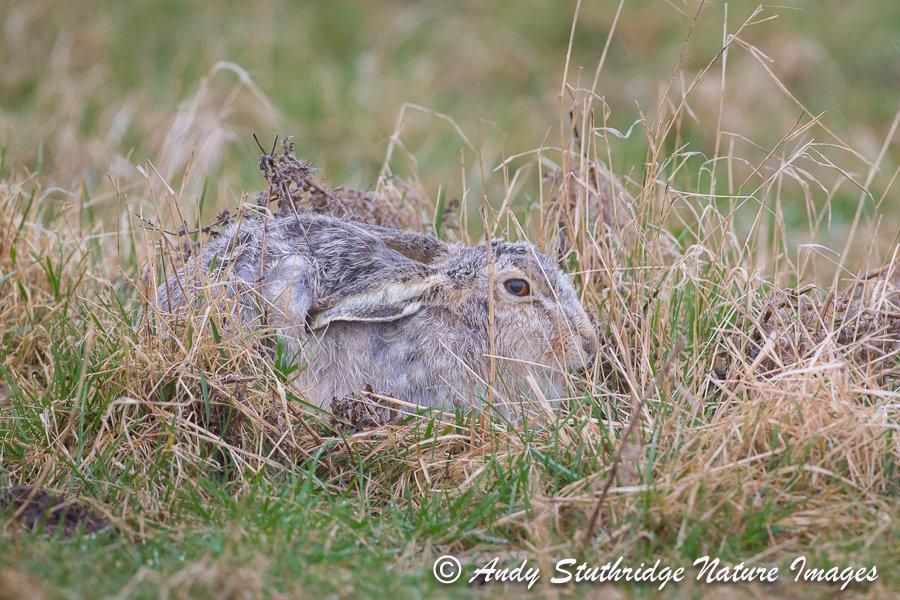 White Hare in Hiding