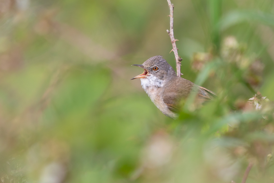 Whitethroat Singing in Hedgerow
