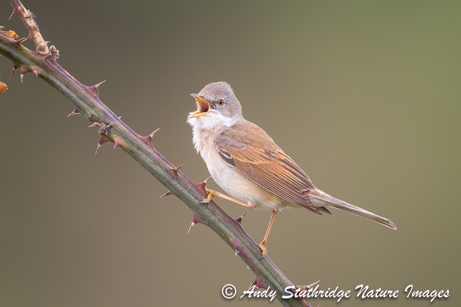 Whitethroat Singing on Bramble