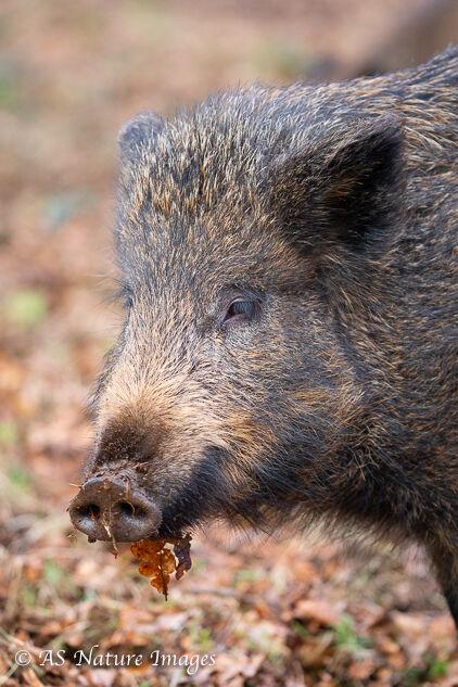 Wild Boar in Close-up