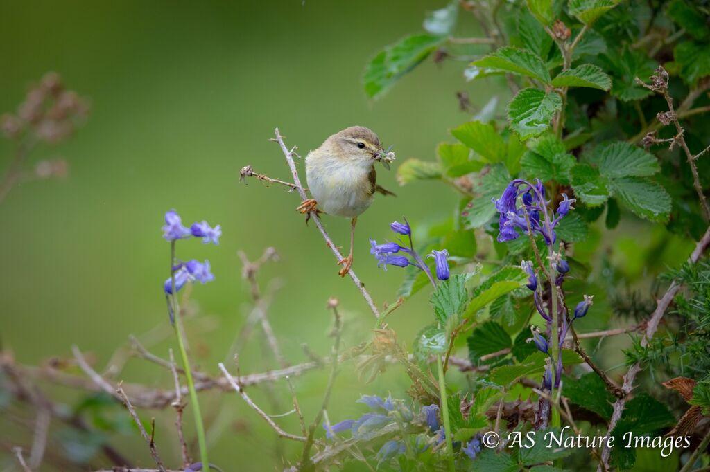 Willow Warbler & Bluebells