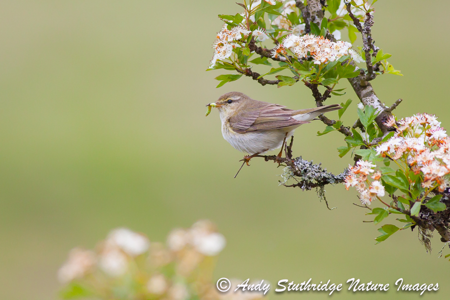 Willow Warbler in Hawthorn