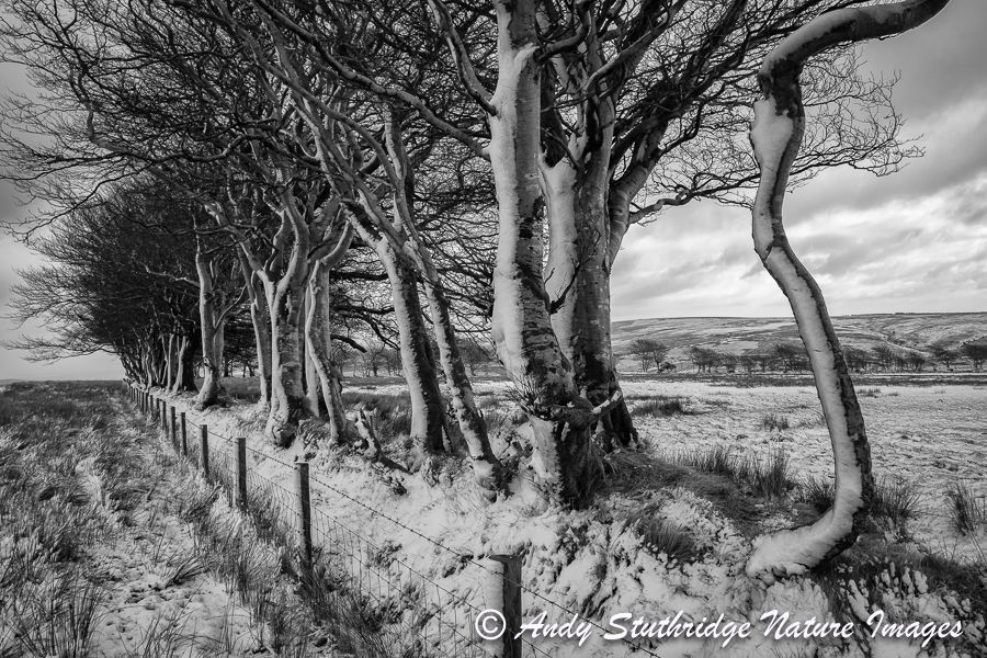 Winter Beech Trees,Exmoor