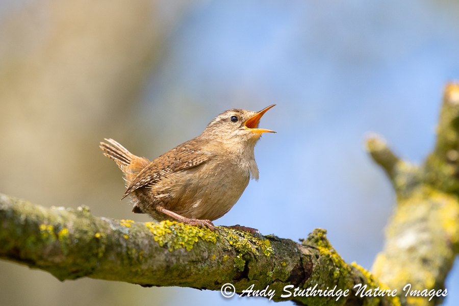 Wren Singing from Branch