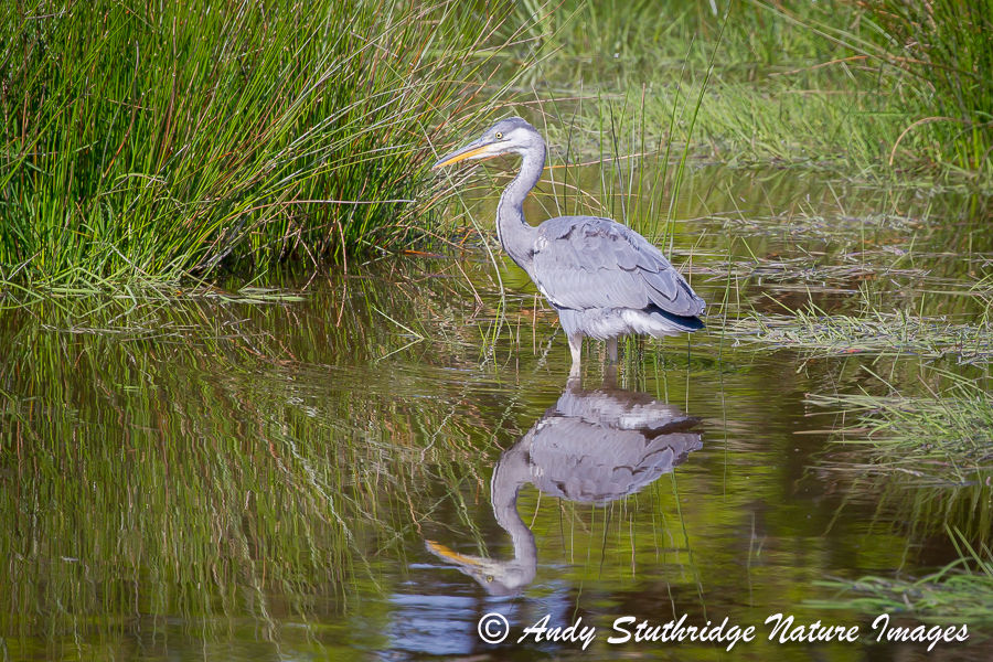 Juvenile Grey Heron Reflected