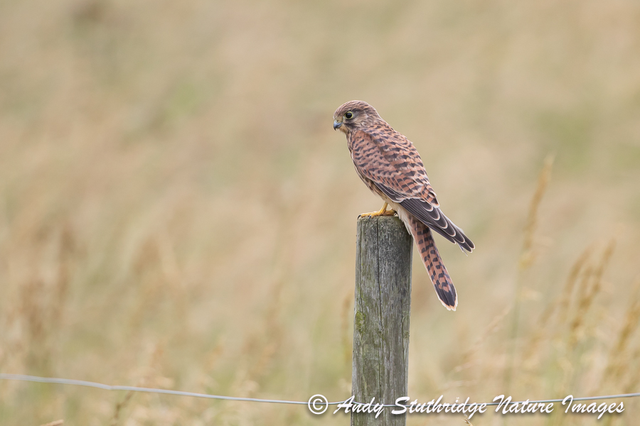 Juvenile Kestrel on Fence Post
