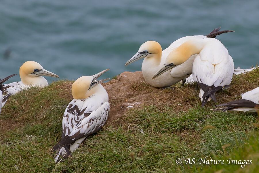 Adult and Juvenile Gannets