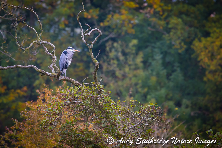 Grey Heron in Riverside Tree