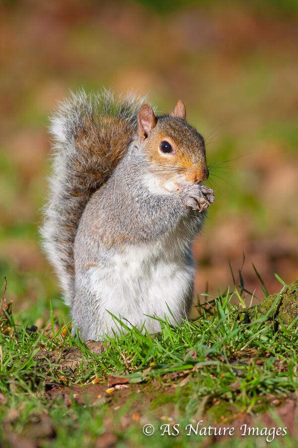 Grey Squirrel Feeding 2