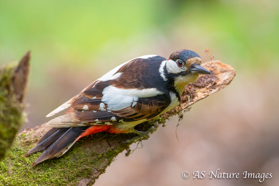 A male Great Spotted Woodpecker Attempting to Hide on a Branch
