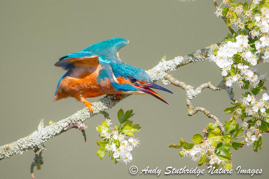 Male Kingfisher Threat Posture