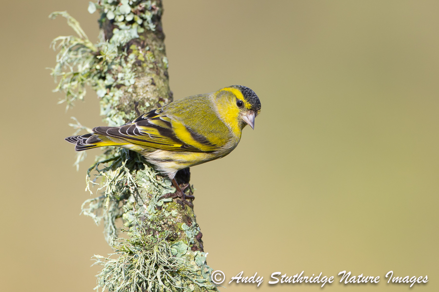 Male Siskin on Branch