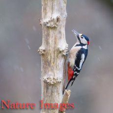GREAT SPOTTED WOODPECKER MALE IN SNOW STORM