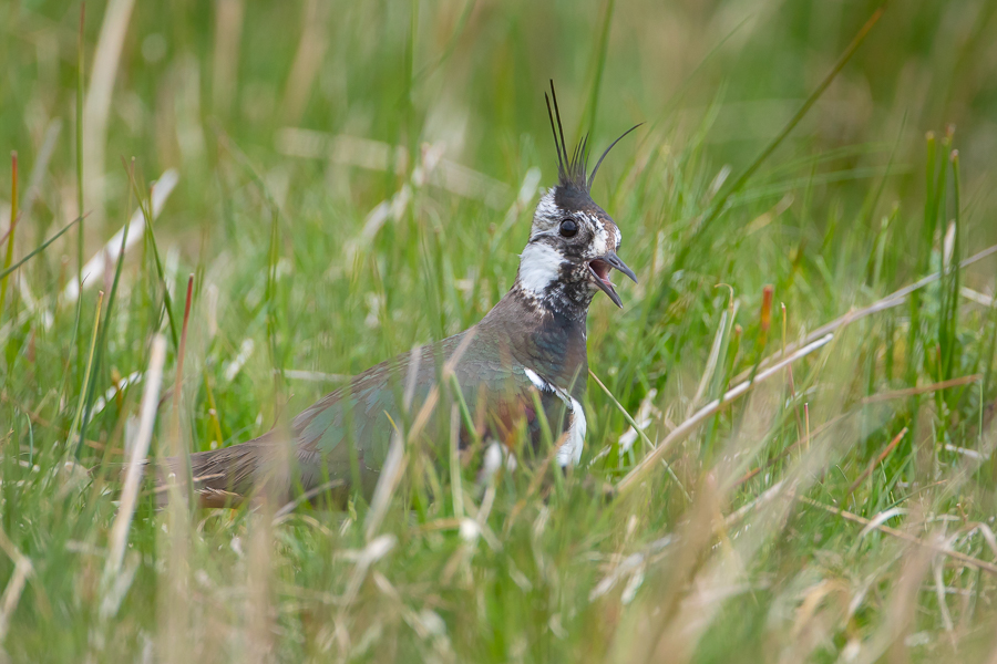 Lapwing Calling in Meadow
