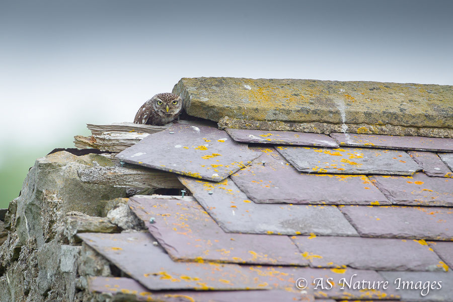 Little Owl on Roof of Derelict Barn