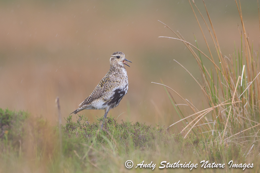 Male Golden Plover Calling in the Rain