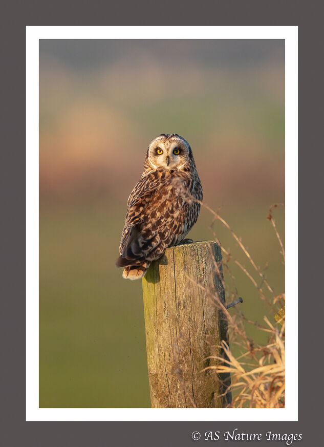 Short Eared Owl in evening Light