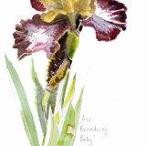 Broardway Baby Iris