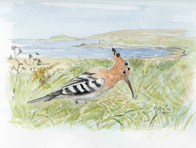 Hoopoe Scilly