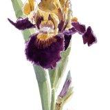 Iris Orageux