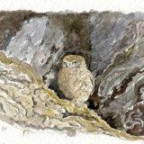 Little Owl Juvenile in Oak Tree