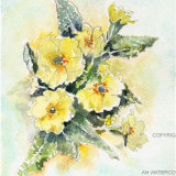 Primulas yellow