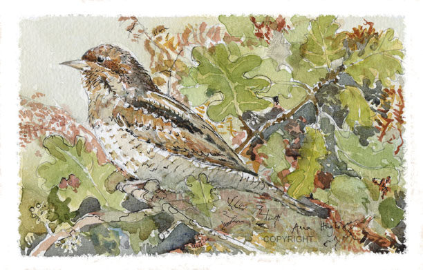 Wryneck Oak Hedge