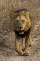 A proud male lion walks behind his pride