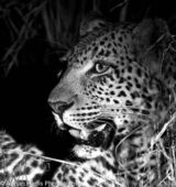 A beautiful Leopard portrait