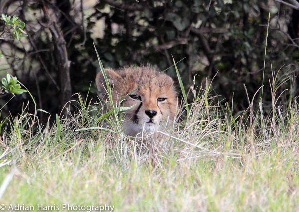 Sleepy young Cheetah