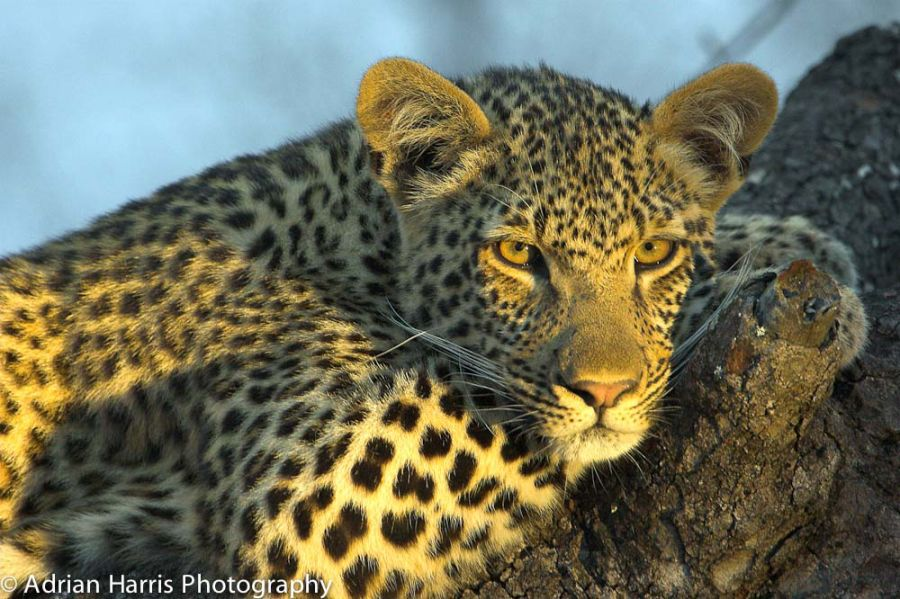 Young Leopard gets ready resting before the hunt