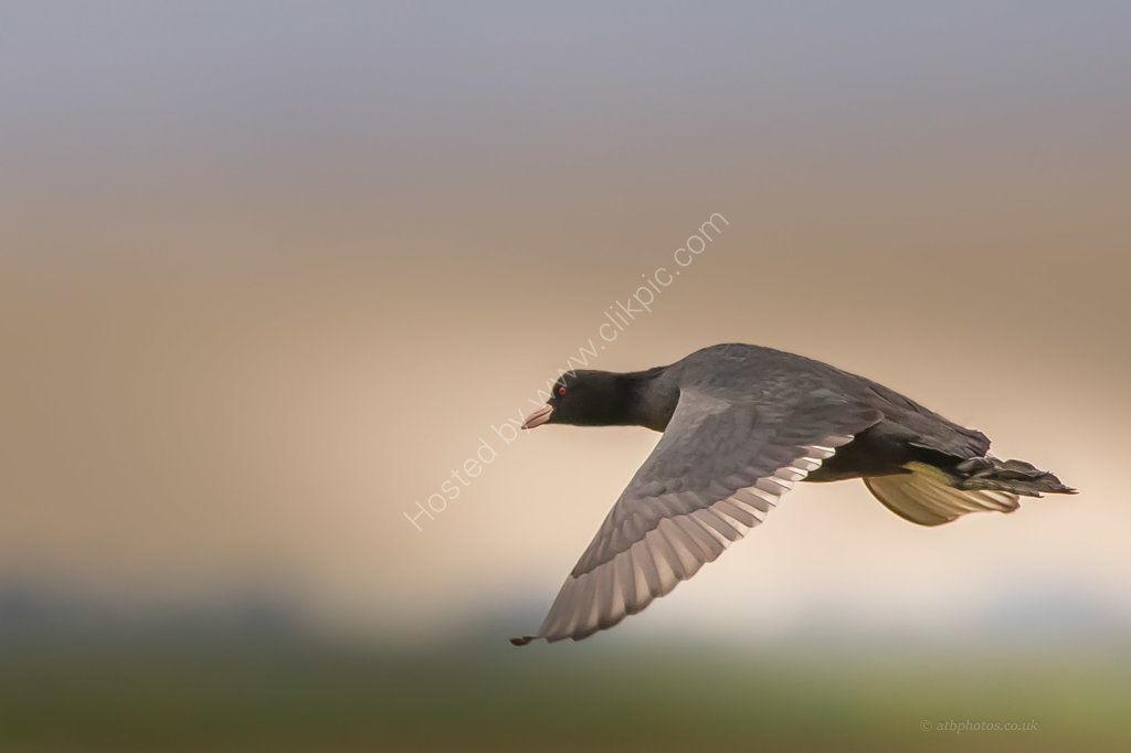 coot in flight