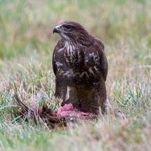 Buzzard eating a pheasant