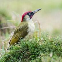 Green Woodpecker looking for ants