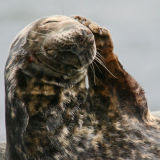 Grey Seal phonecall