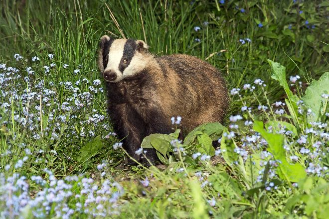 Badger in Forget-Me-Knots