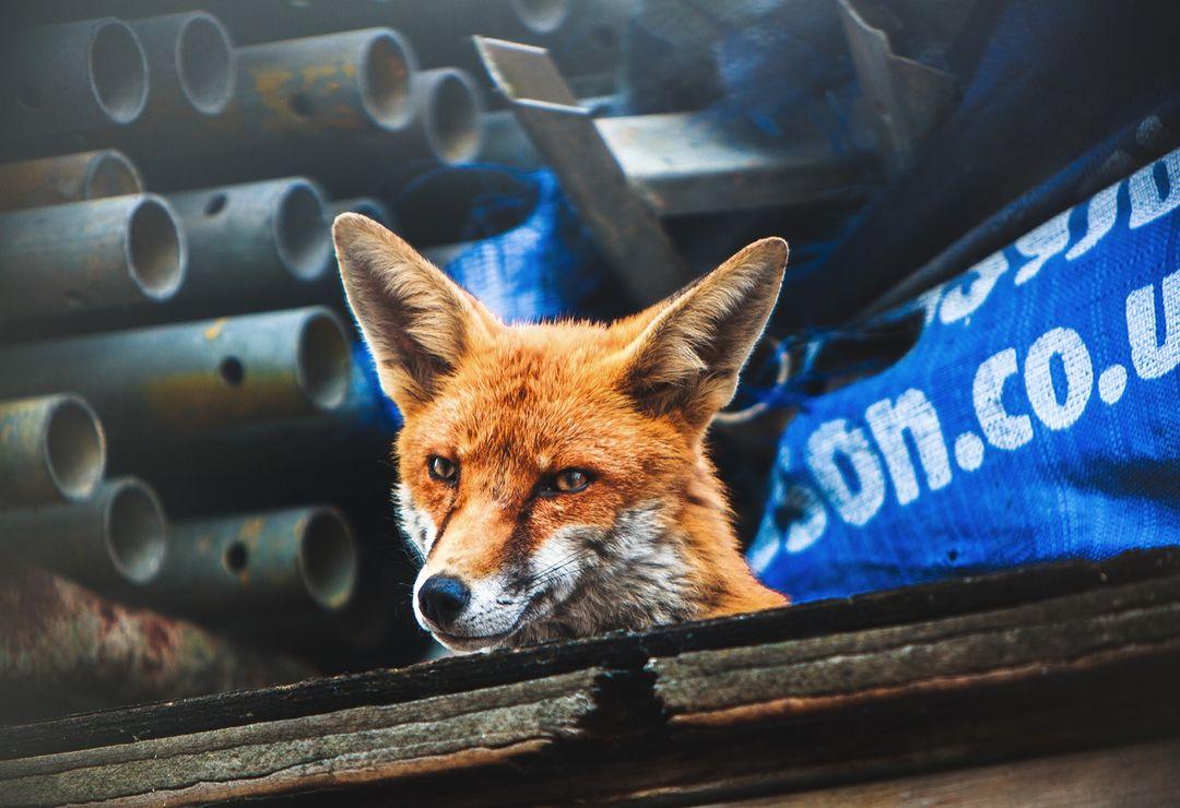 Urban fox, London