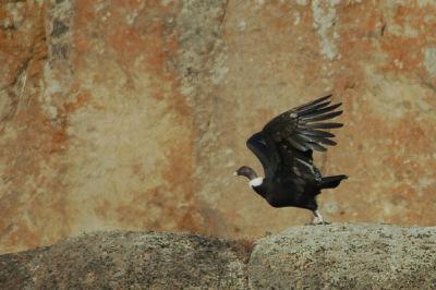 Condor, Chile