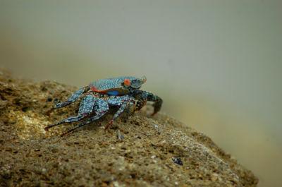 Ecuadorian crab