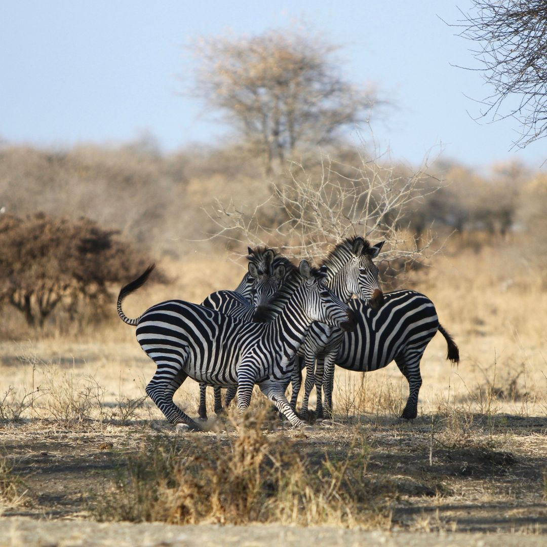 Zebra, Selous Game Reserve, Tanzania