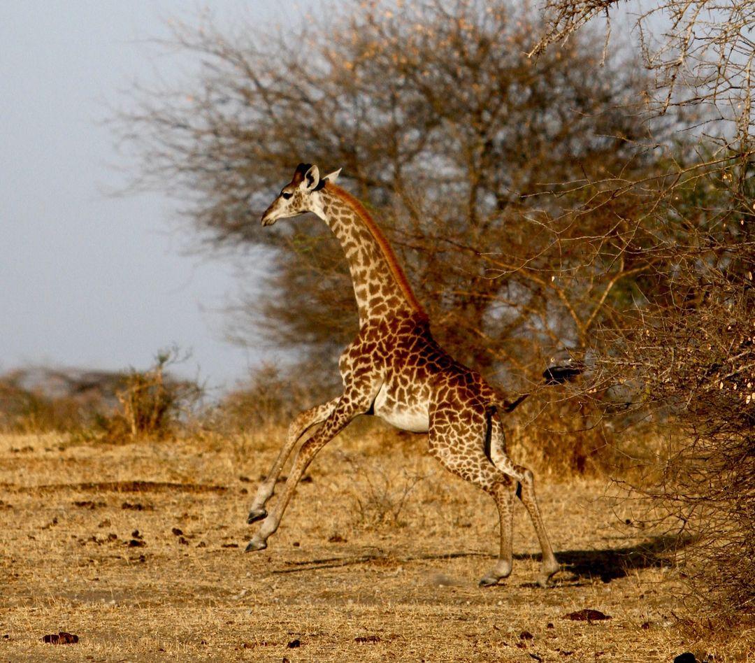Baby giraffe, Selous Game Reserve, Tanzania