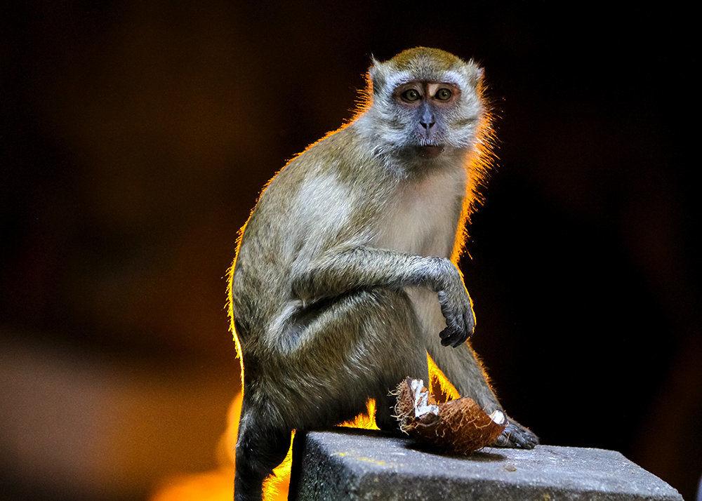 Macaque at Batu Caves, Kuala Lumpur, Malaysia