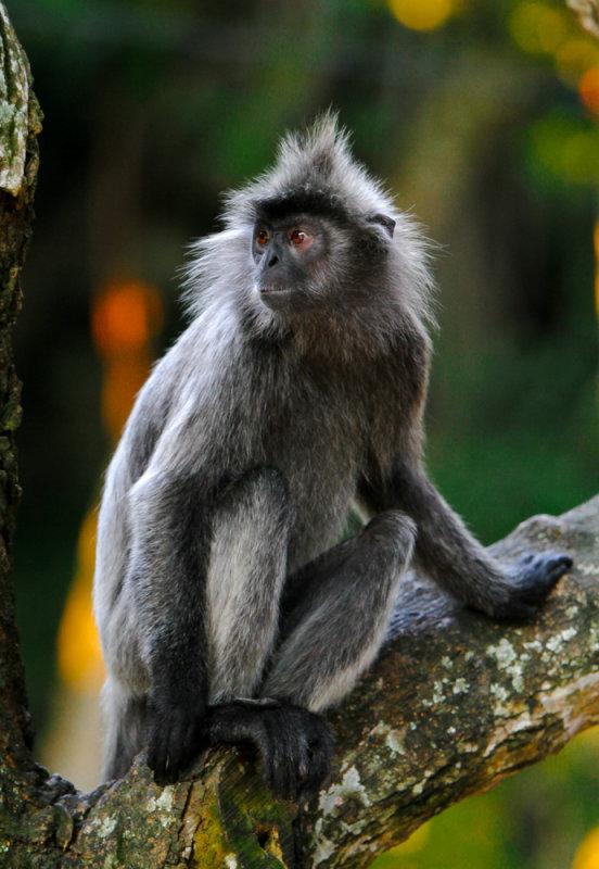 Silver leaf monkey, Kuala Selangor, Malaysia