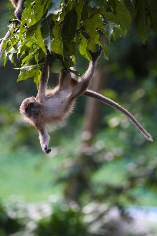Hanging macaque