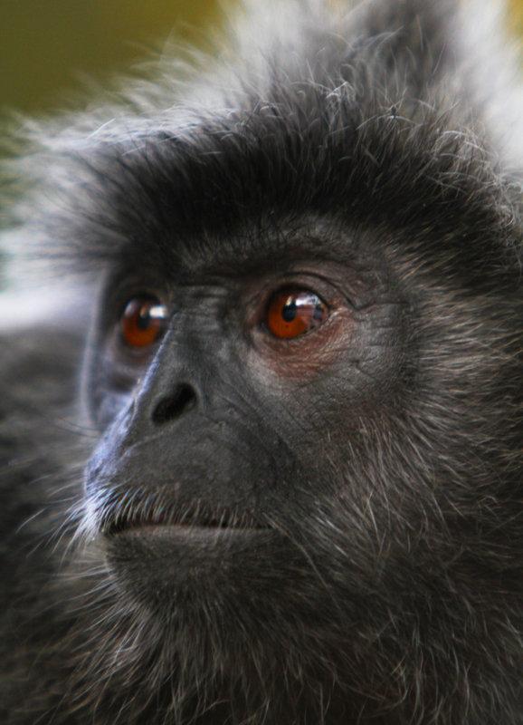 Silver Leaf Monkey, Kuala Selangor