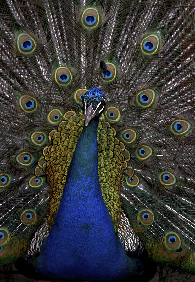 Peacock, Aquila Game Reserve, South Africa