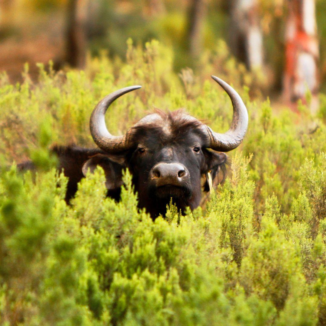 Buffalo, Aquila Game Reserve, South Africa