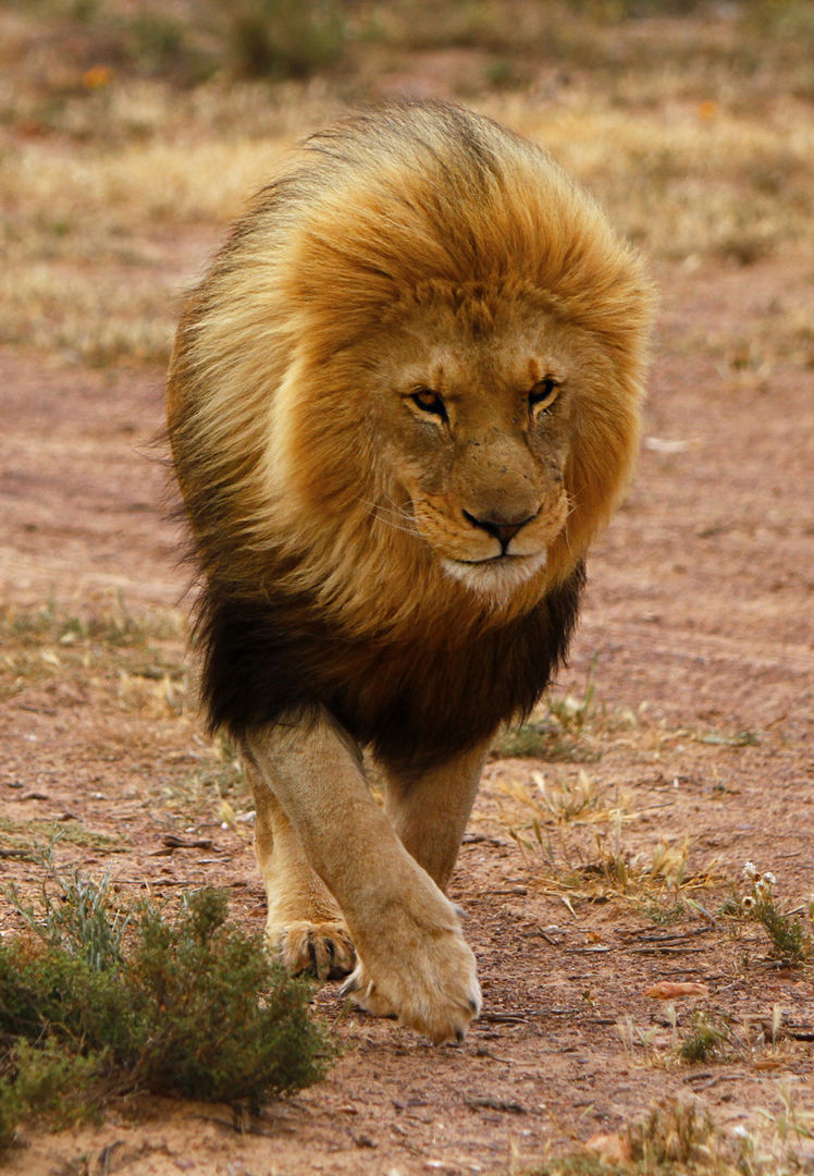 Lion, Aquila Game Reserve, South Africa