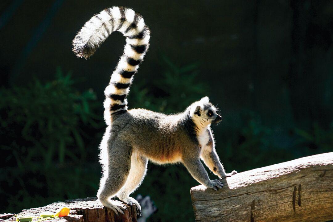 ?Lemur?